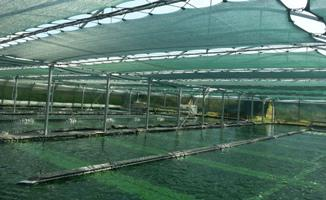 Spirulina production area