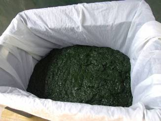 draining the spirulina