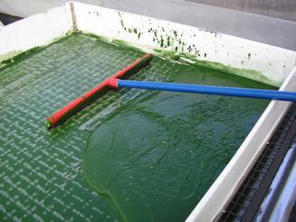 filtering Spirulina
