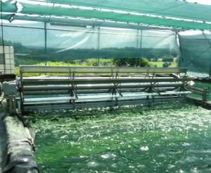 paddle wheel of spirulina